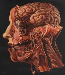 anatomia testa